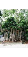 Ficus microcarpa - Ficus bonsai Landschaft