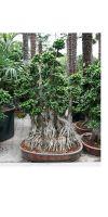 Ficus microcarpa - Ficus bonsai extra