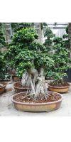 Ficus microcarpa compacta - Ficusbonsai