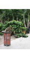 Ficus microcarpa - Bonsaificus extra