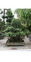 Ficus nitida bonsai - Innenbonsai