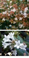 Abelia grandiflora - Abelie, Tausendblütenstrauch