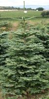 Abies nobilis Glauca - Noble Fir,  North American fir