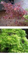 Acer japonicum Aconitifolium - Fernleaf Fullmoon Maple