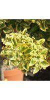 Euonymus japonicus Aureovariegatus - Pfaffenhütchen, Spindelba