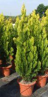 Thuja orientalis Pyramidalis Aurea - Morgenländischer Lebensbaum