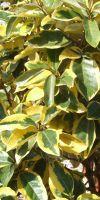 Elaeagnus x ebbingei Gilt Edge - Wintergrüne Ölweide
