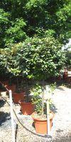 Elaeagnus x ebbingei Limelight - Silverberry, Oleaster