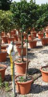 Ilex aquifolium  - Europäische Stechpalme