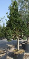 Ilex aquifolium - European Holly