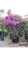 Bougainvillea glabra Sanderina - Drillingsblume