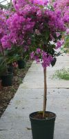 Bougainvillea glabra Sanderina - Drillingsblume, Wunderblütenstr