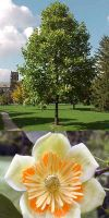 Liriodendron tulipifera -  American tulip tree