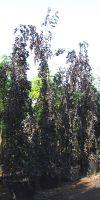 Fagus sylvatica `Purpurea Pendula`- Hängebuche
