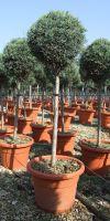Cupressus arizonica Fastigiata- Arizona Zypresse Kugel auf Stamm