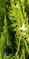 Cupressocyparis leylandii - Formgehölz mit 2 Kugeln auf Stamm