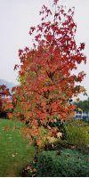 Liquidambar styraciflua - Amerikanischer Amberbaum, Stammbusch
