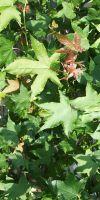 Liquidambar styraciflua - American Sweetgum, redgum