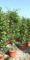 Salix caprea Pendula - Salweide, Hängeform