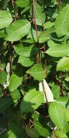 Salix caprea Pendula - Goat Willow, Pussy Willow