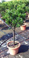 Prunus laurocerasus Otto Luyken - Lorbeerkirsche