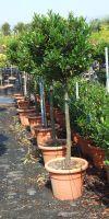 Prunus laurocerasus Otto Luyken -