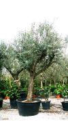 Olea europea - Olivenbaum