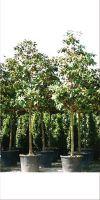 Magnolia grandiflora Galisoniensis - Southern magnolia