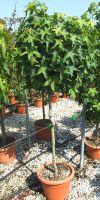Liquidambar styraciflua - Storaxbaum, Seesternbaum