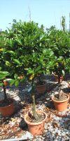 Prunus lusitanica - Portugiesischer Kirschlorbeer