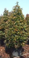 Photinia serrulata Red Robin - Photinia