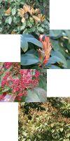 Photinia serrulata Red Robin - Photinia
