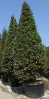 Quercus ilex - Steineiche, Grüneiche