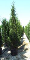 Cupressocyparis leylandii Castlewellan Gold - Baumzypresse