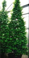 Carpinus betulus  - Hainbuche, Weißbuche