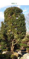 Camellia sasanqua - Kamelie Gartenbonsai