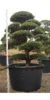 Ilex crenata kimne - Japanischer Gartenbonsai