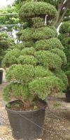 Juniperus chinensis Gartenbonsai - Chinesischer Wacholder