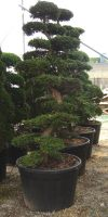 Chamaecyparis obtusa Gartenbonsai - Hinoki- Scheinzypresse