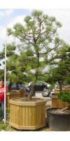 Pinus montezumae - Montezuma Kiefer, Gartenbonsai