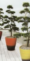 Ilex crenata Bonsai in a Planter - Gardenbonsai