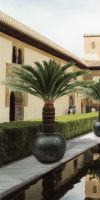 Cycas revoluta in a Planter