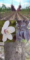 Prunus cerasifera - Blutpflaume, Zierpflaume Hochstamm