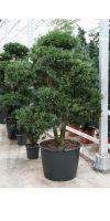 Podocarpus macrophyllus Bonsai - Steineibe