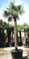 Trachycarpus fortunei - Chinesische Hanfpalme XL
