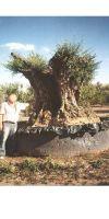 Olea europea - Olivenbaum 1000 - 1500 Jahre