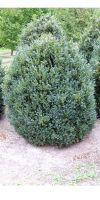 Buxus sempervirens arborescens -