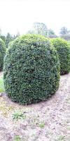 Buxus sempervirens arborescens - Bienenkorb Schnitt