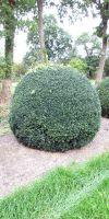 Buxus sempervirens arborescens - Kugel- Schnitt