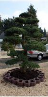 Pinus pentaphylla Bonsai - Japanischer Gartenbonsai